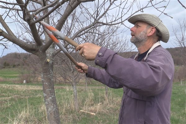 Man pruning a tree in a Bruderhof orchard