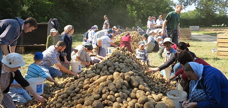 a outdoor, late summer potato-sorting project involving old and young men, women, and children