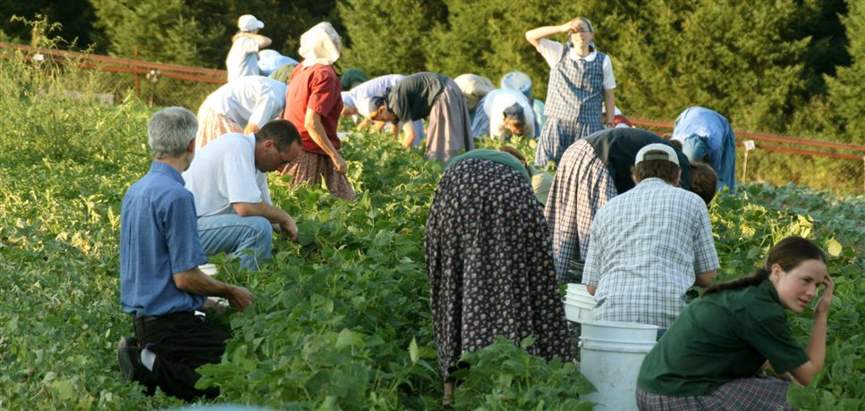 An image of a bean picking project at the Spring Valley Bruderhof community