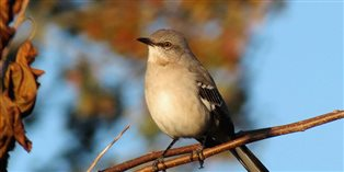 a mockingbird on the branch of a tree